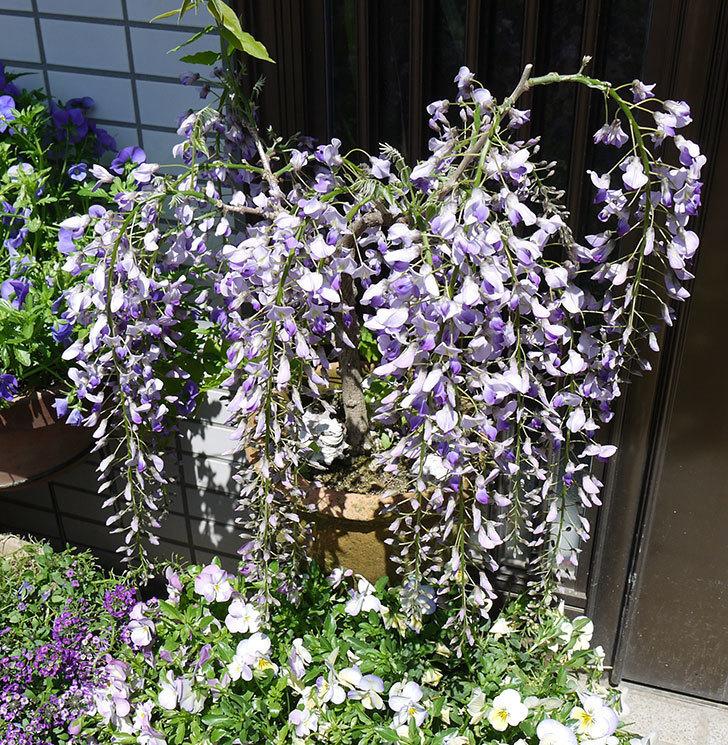 フジ(藤)の花がたくさん咲いた。2017年-2.jpg
