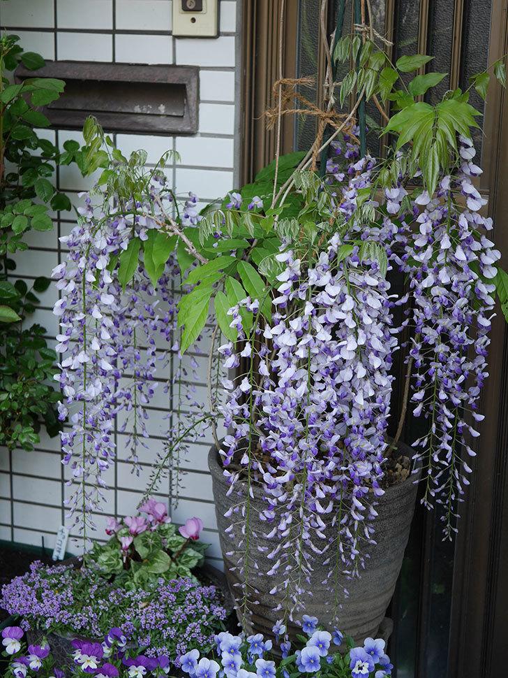 フジ(藤)の花がたくさん咲いた。2021年-003.jpg