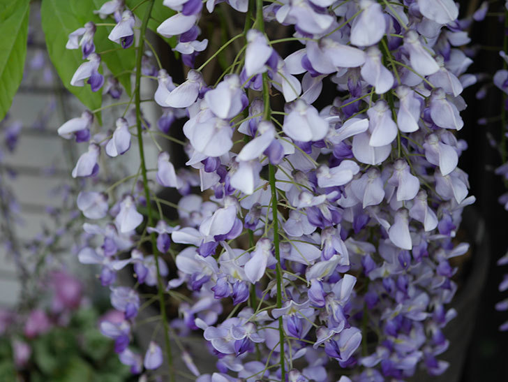 フジ(藤)の花がたくさん咲いた。2021年-004.jpg
