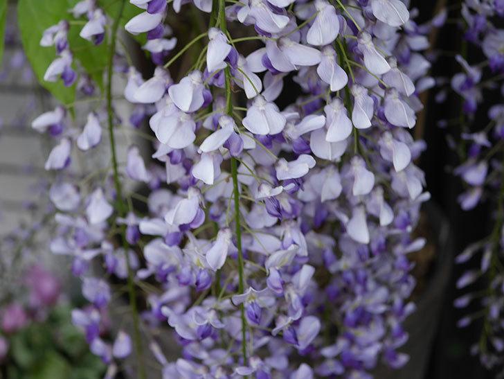 フジ(藤)の花がたくさん咲いた。2021年-005.jpg