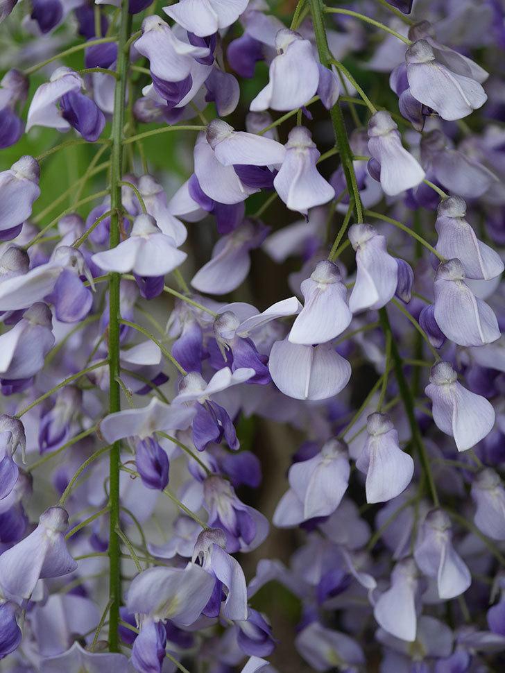 フジ(藤)の花がたくさん咲いた。2021年-006.jpg