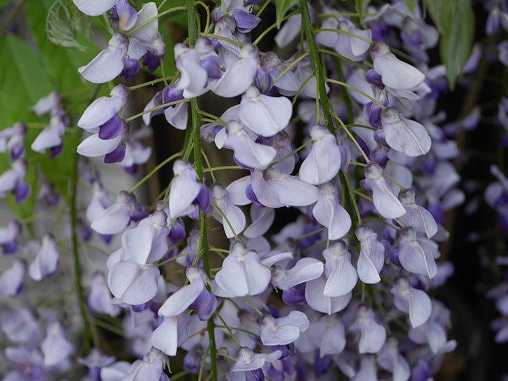 フジ(藤)の花がたくさん咲いた。2021年-012.jpg