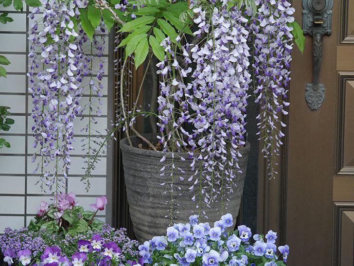 フジ(藤)の花がたくさん咲いた。2021年-013.jpg