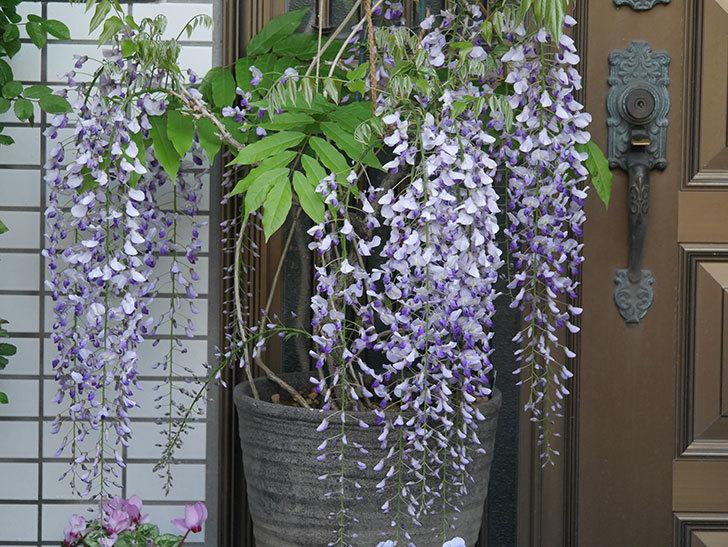 フジ(藤)の花がたくさん咲いた。2021年-014.jpg
