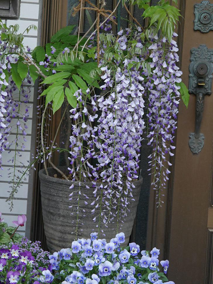 フジ(藤)の花がたくさん咲いた。2021年-015.jpg