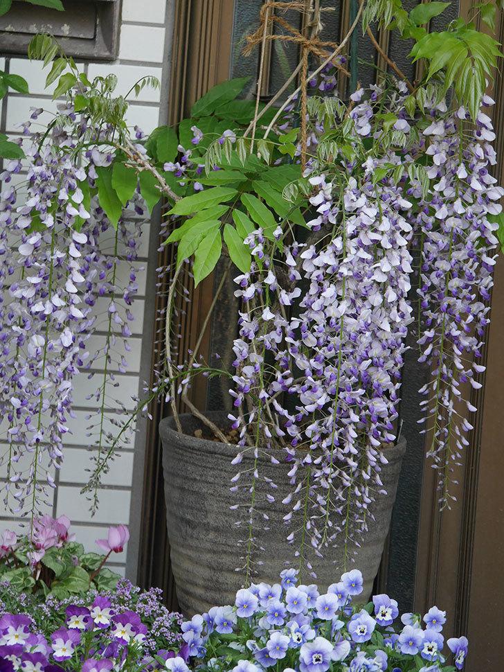 フジ(藤)の花がたくさん咲いた。2021年-016.jpg