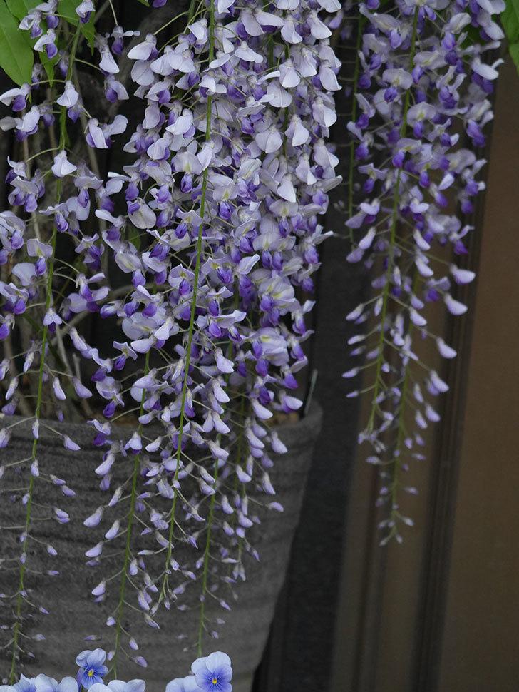 フジ(藤)の花がたくさん咲いた。2021年-019.jpg