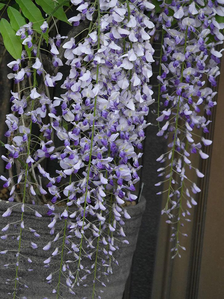 フジ(藤)の花がたくさん咲いた。2021年-020.jpg