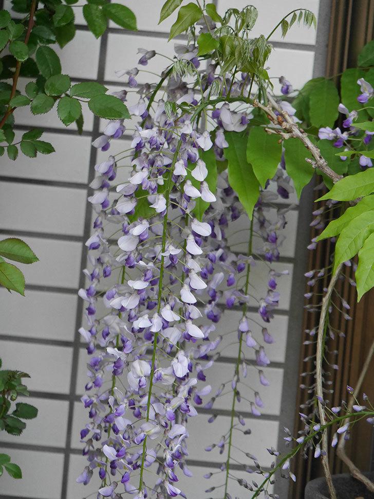 フジ(藤)の花がたくさん咲いた。2021年-021.jpg