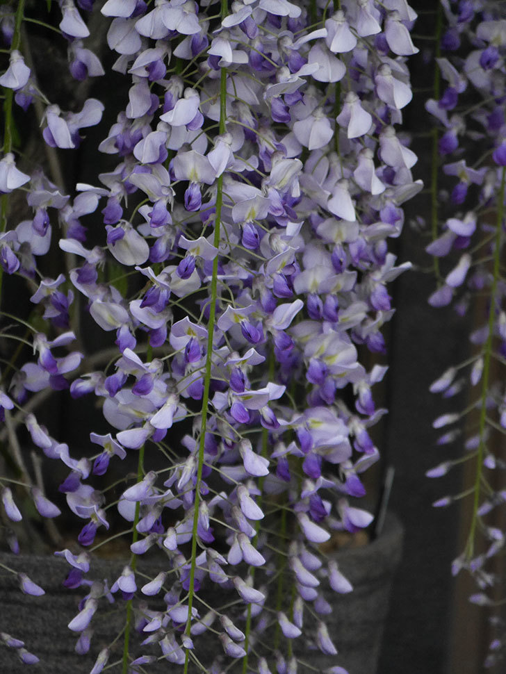 フジ(藤)の花がたくさん咲いた。2021年-024.jpg