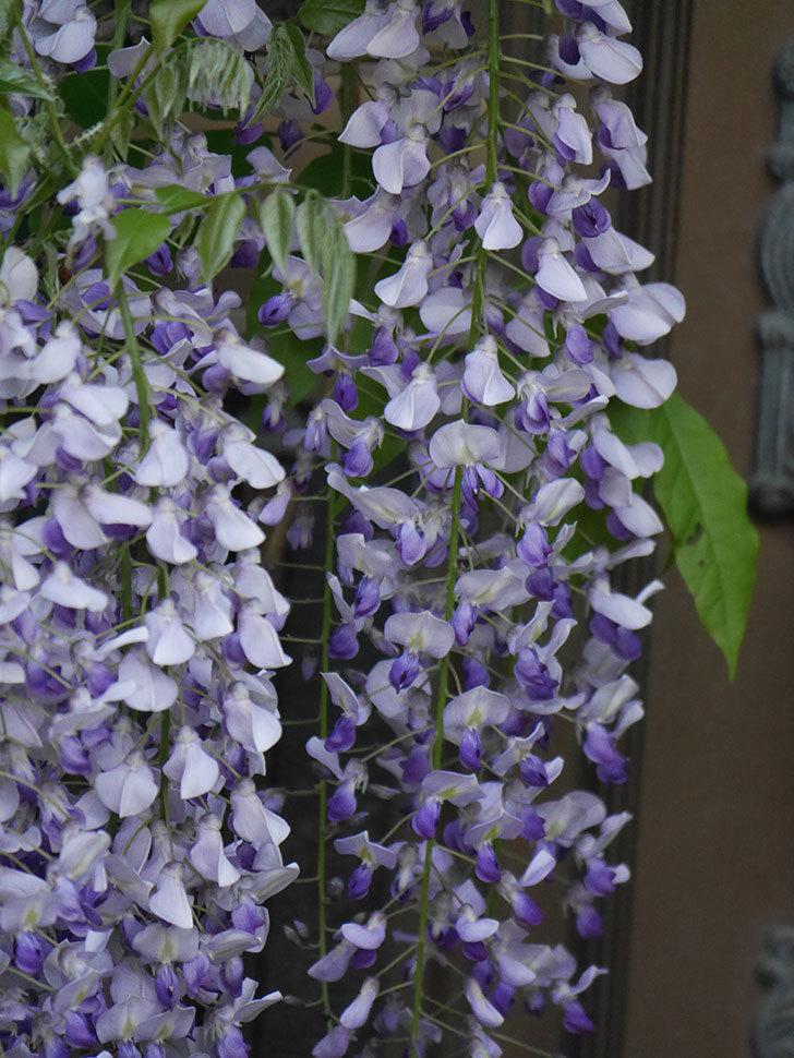 フジ(藤)の花がたくさん咲いた。2021年-025.jpg