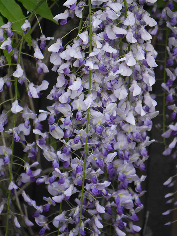 フジ(藤)の花がたくさん咲いた。2021年-027.jpg