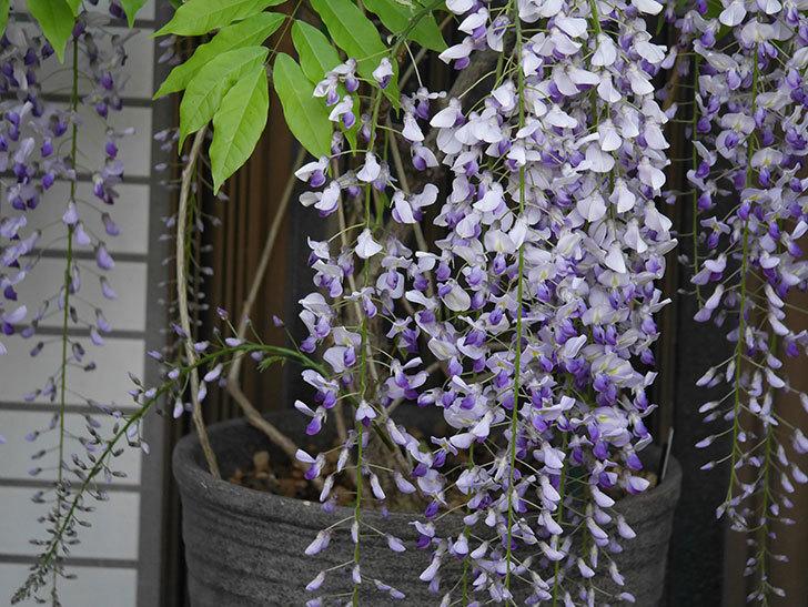 フジ(藤)の花がたくさん咲いた。2021年-029.jpg