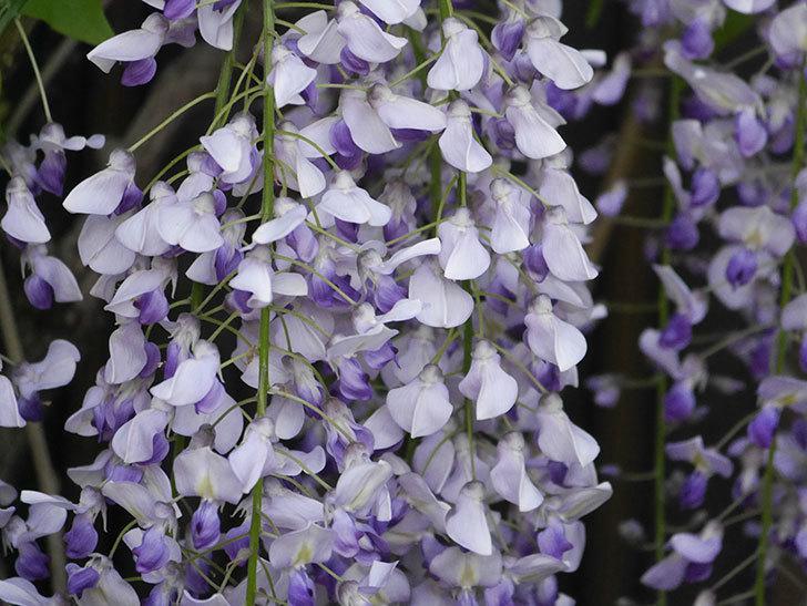 フジ(藤)の花がたくさん咲いた。2021年-030.jpg