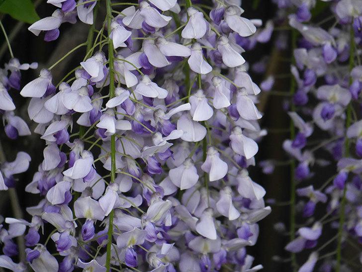フジ(藤)の花がたくさん咲いた。2021年-031.jpg