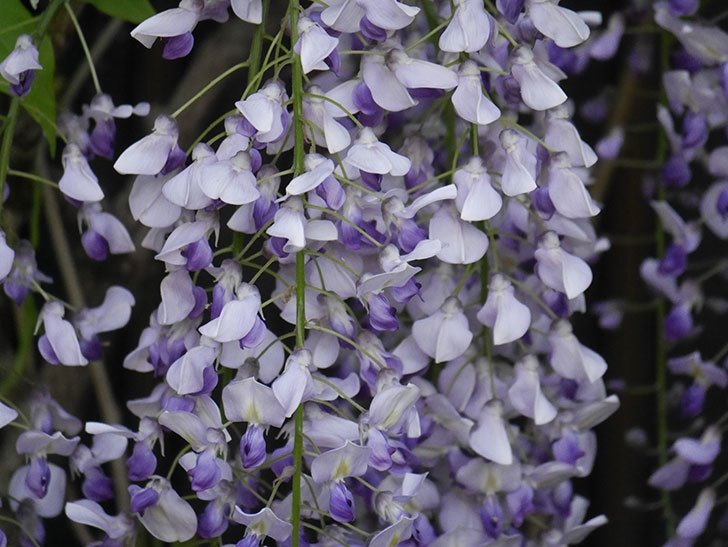 フジ(藤)の花がたくさん咲いた。2021年-032.jpg