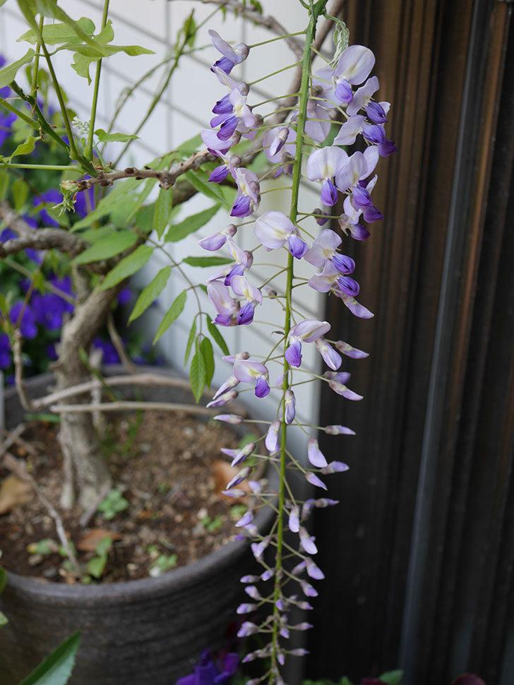 フジ(藤)の花が咲きだした。2020年-4.jpg
