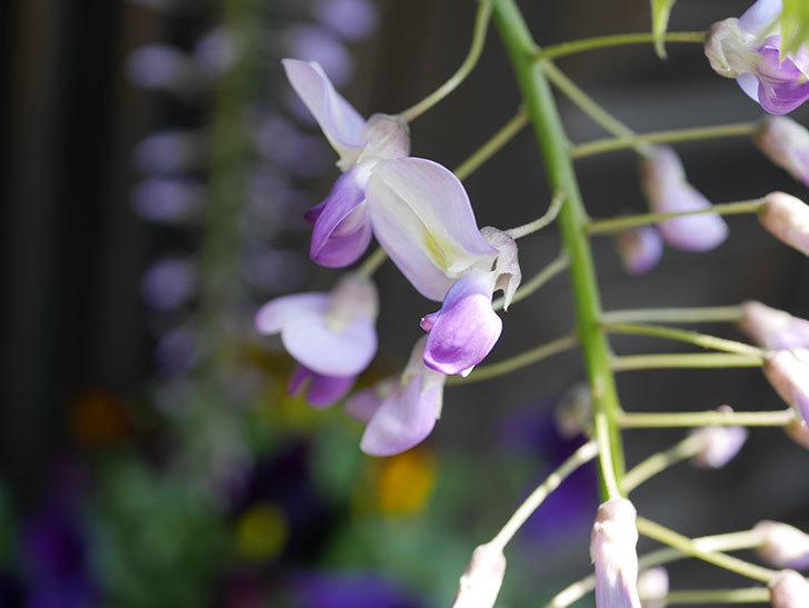 フジ(藤)の花が咲きだした。2020年-5.jpg