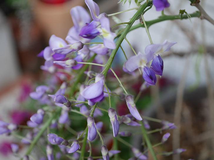 フジ(藤)の花が咲きだした。2021年-002.jpg