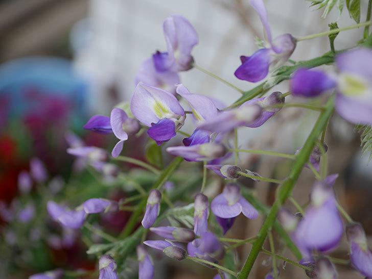 フジ(藤)の花が咲きだした。2021年-003.jpg