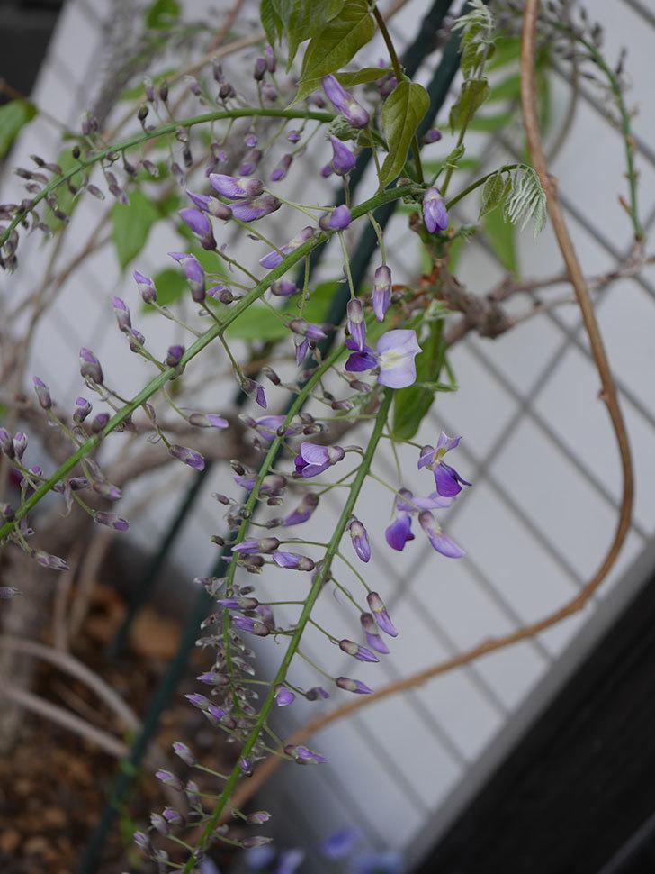 フジ(藤)の花が咲きだした。2021年-006.jpg