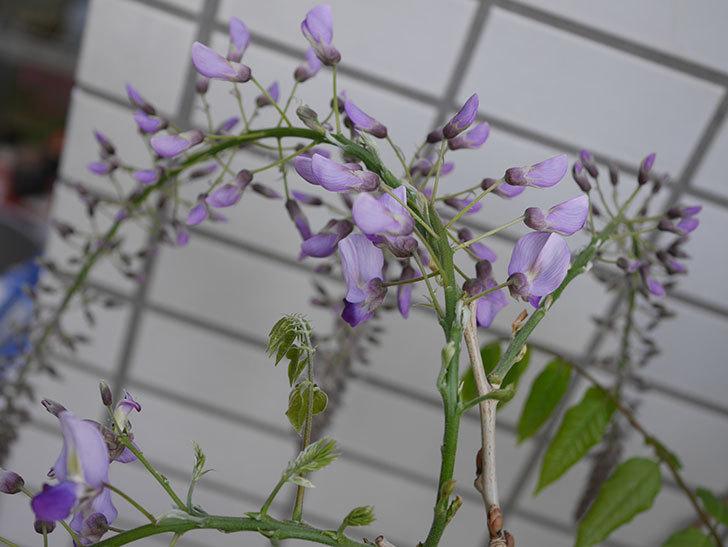 フジ(藤)の花が咲きだした。2021年-007.jpg