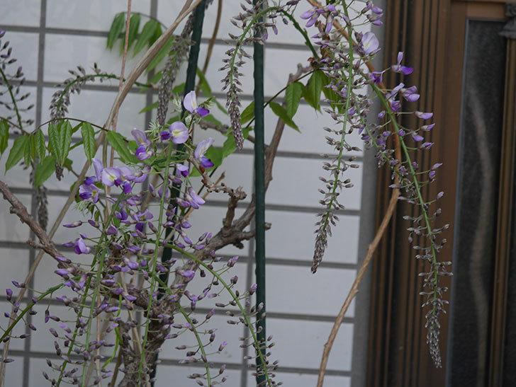 フジ(藤)の花が咲きだした。2021年-008.jpg