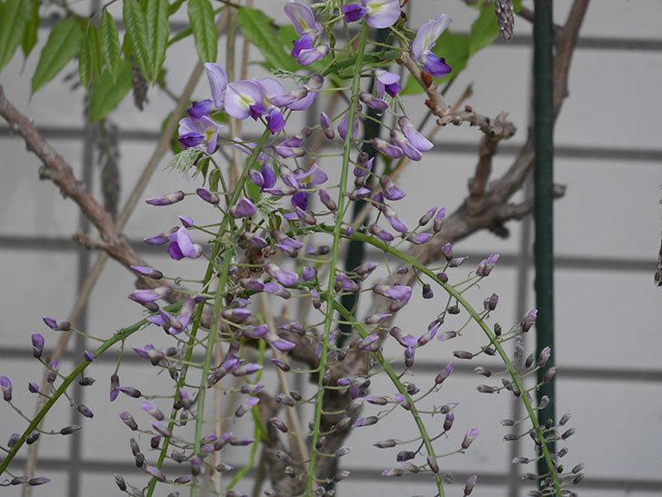 フジ(藤)の花が咲きだした。2021年-009.jpg