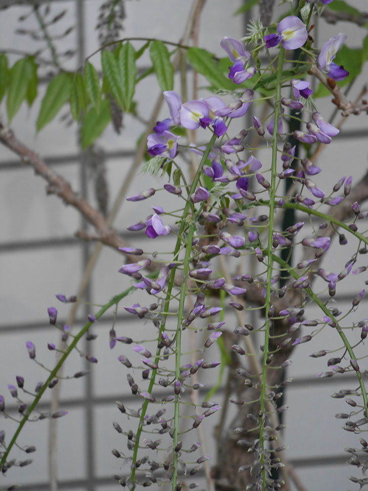 フジ(藤)の花が咲きだした。2021年-012.jpg