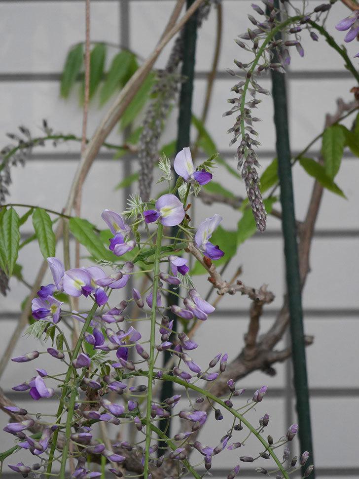 フジ(藤)の花が咲きだした。2021年-013.jpg