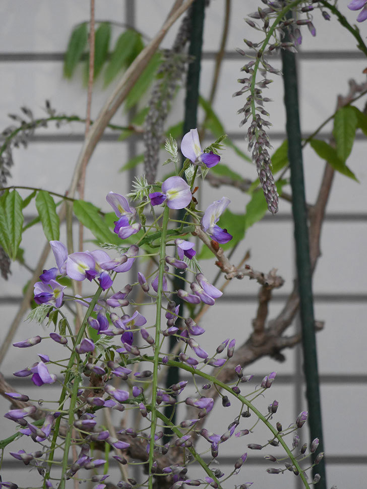 フジ(藤)の花が咲きだした。2021年-014.jpg