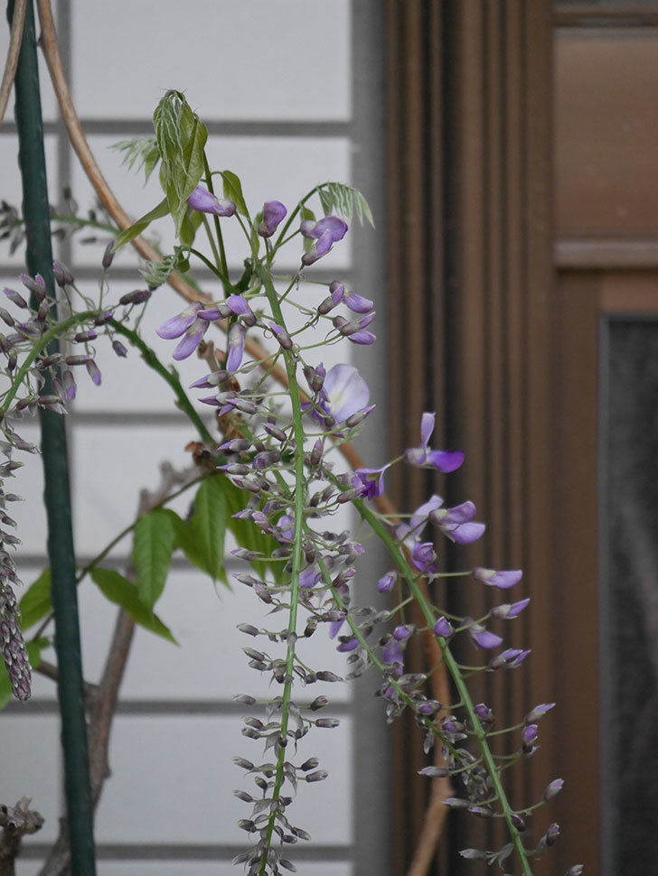 フジ(藤)の花が咲きだした。2021年-015.jpg