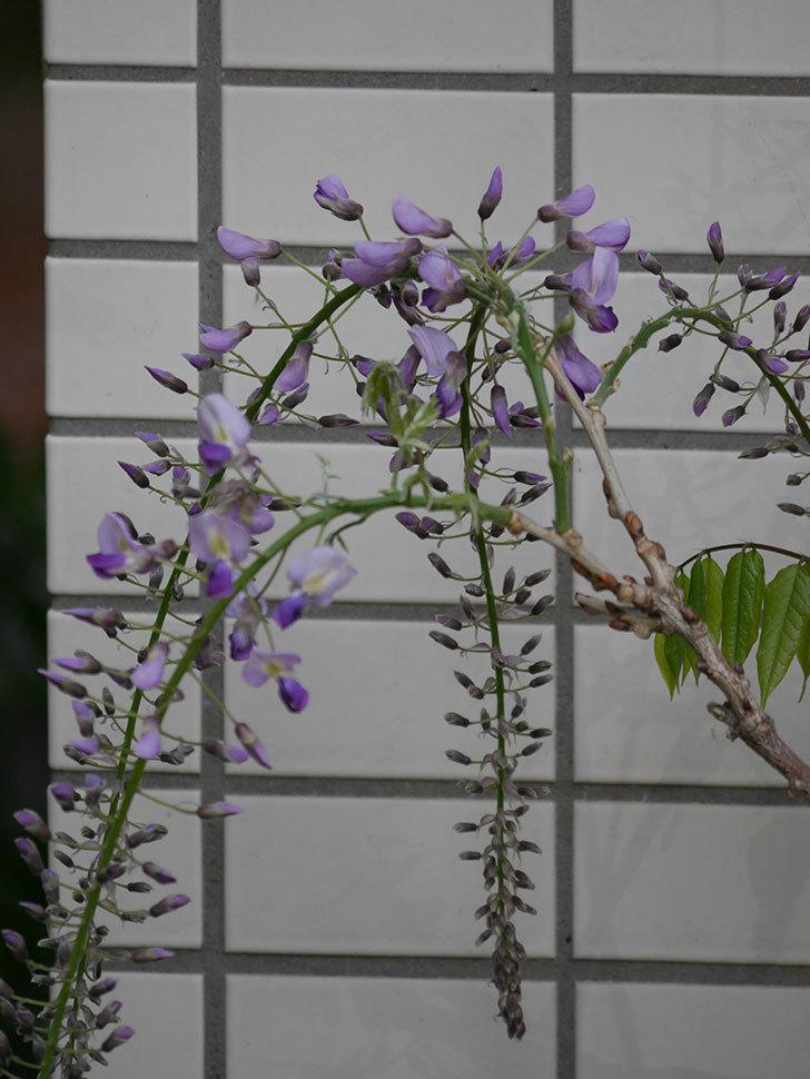 フジ(藤)の花が咲きだした。2021年-016.jpg