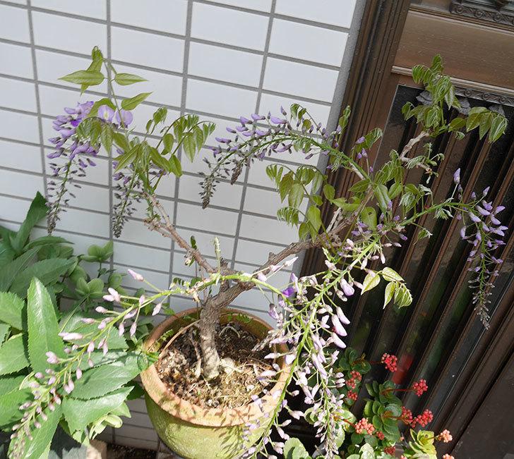 フジ(藤)の花が咲き始めた。2018年-3.jpg