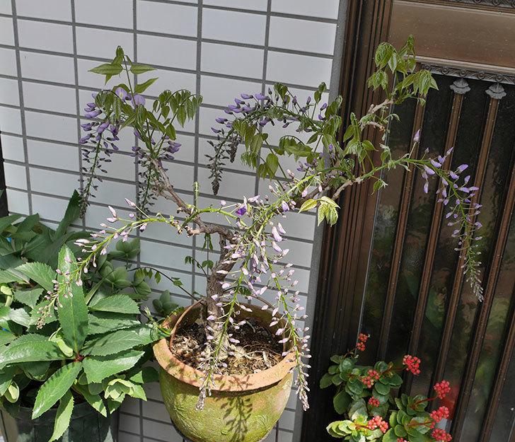 フジ(藤)の花が咲き始めた。2018年-4.jpg