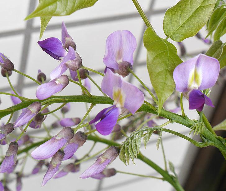 フジ(藤)の花が咲き始めた。2018年-5.jpg