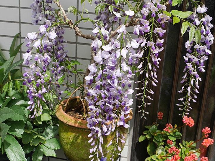 フジ(藤)の花が増えてきた。2018年-1.jpg