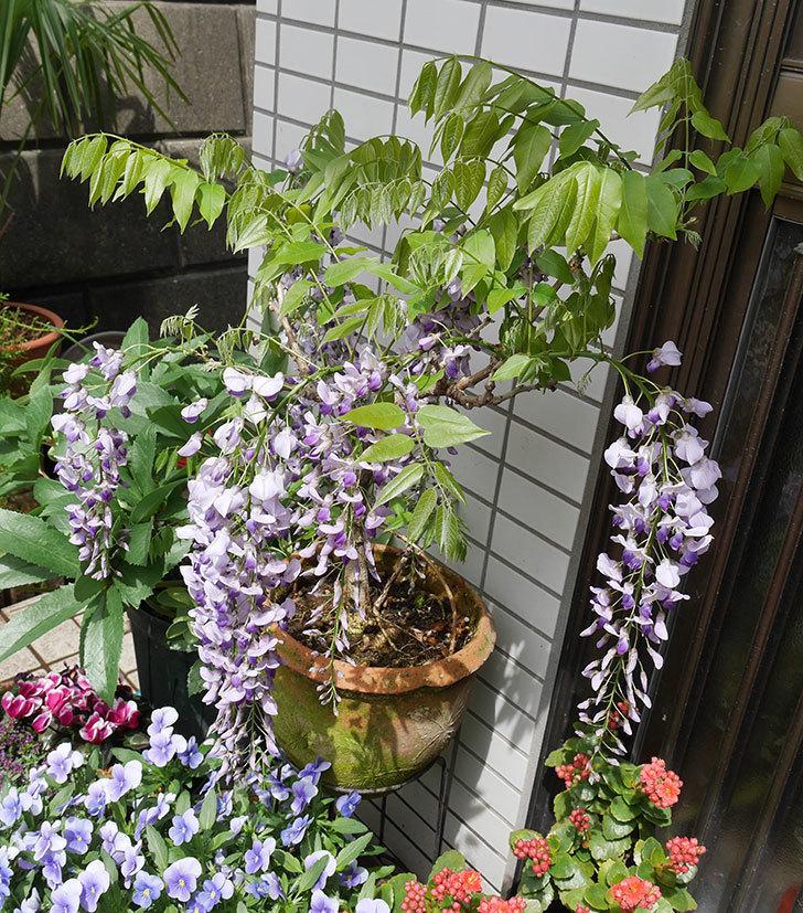 フジ(藤)の花が増えてきた。2018年-4.jpg