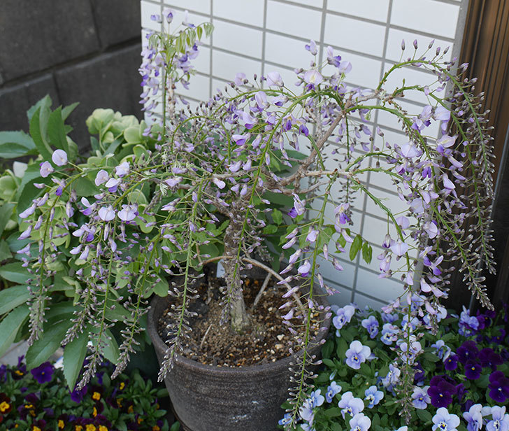 フジ(藤)の花が増えてきた。2019年-1.jpg