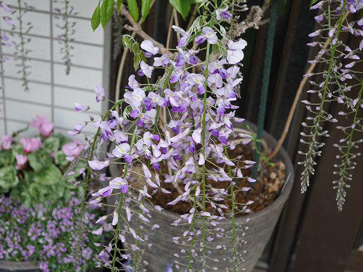 フジ(藤)の花が増えてきた。2021年-001.jpg