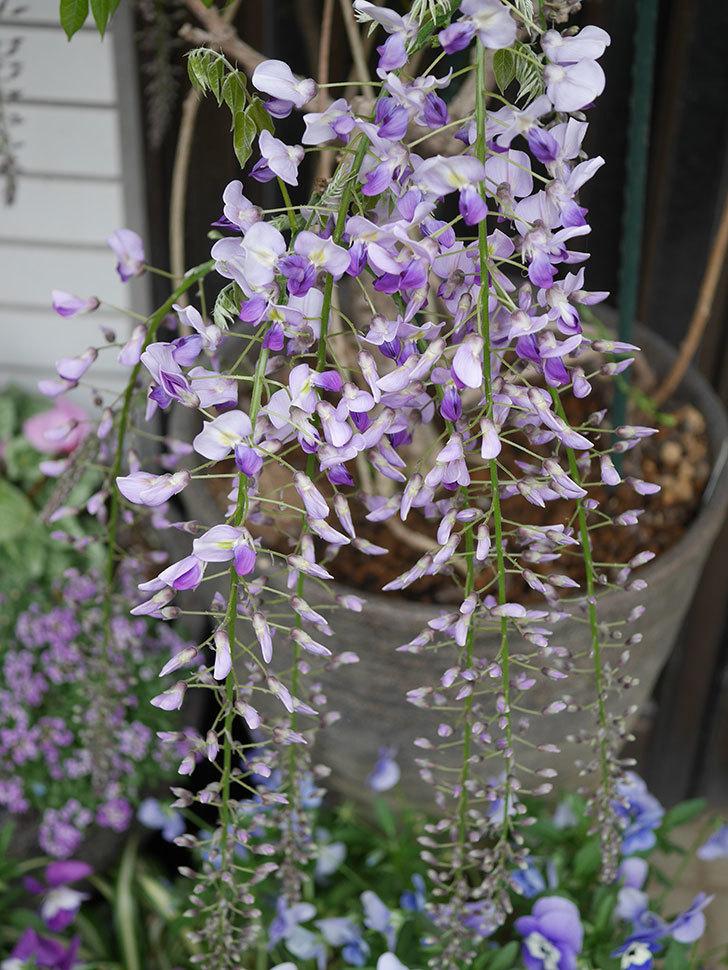 フジ(藤)の花が増えてきた。2021年-003.jpg