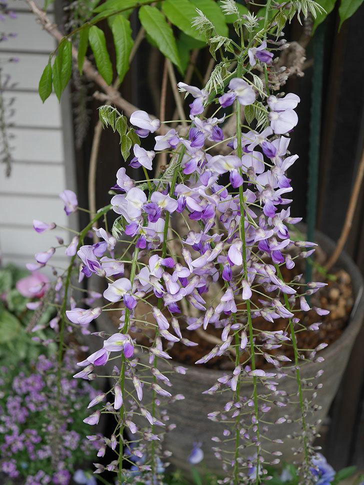 フジ(藤)の花が増えてきた。2021年-004.jpg