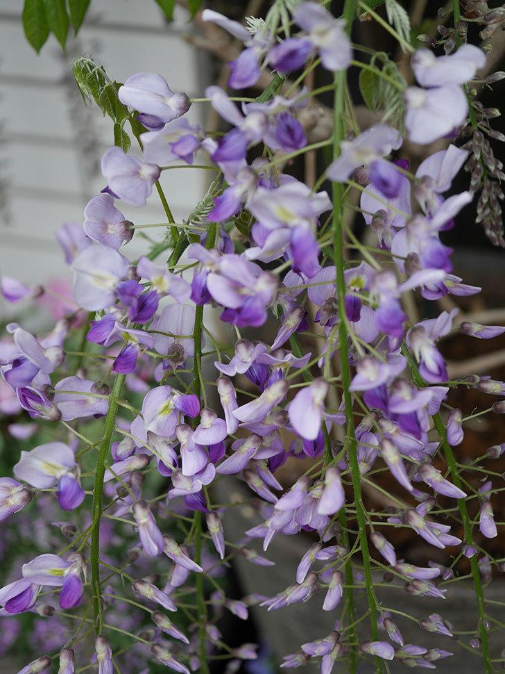 フジ(藤)の花が増えてきた。2021年-005.jpg