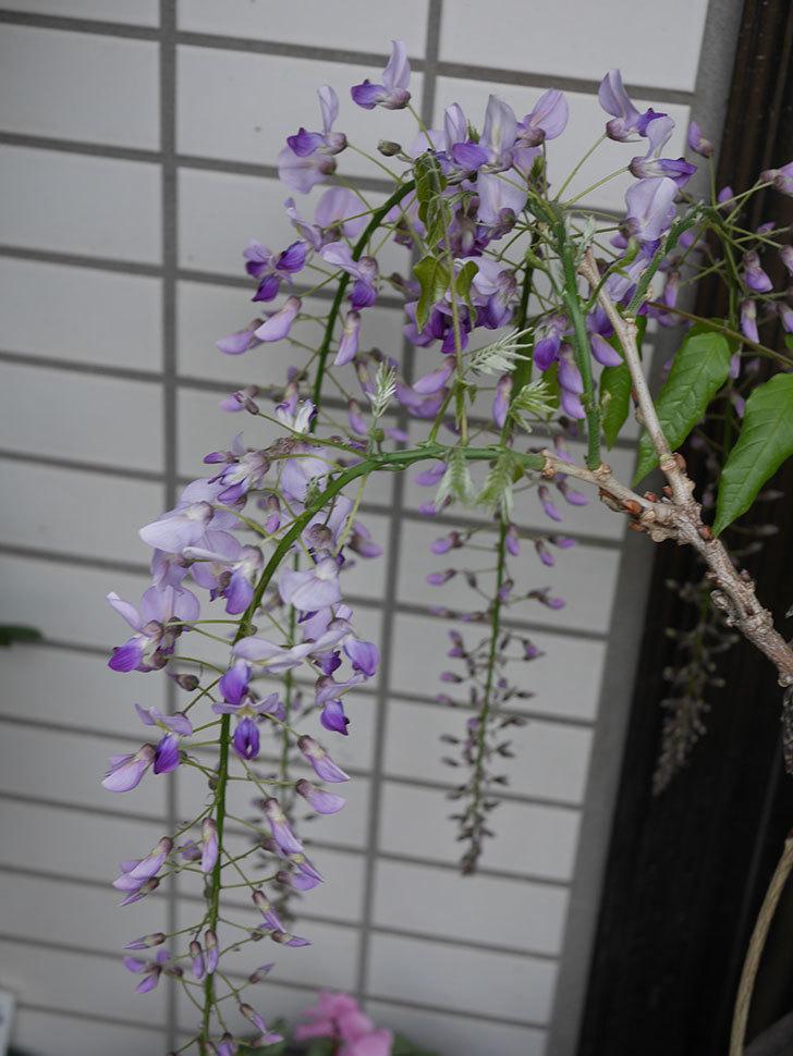 フジ(藤)の花が増えてきた。2021年-006.jpg
