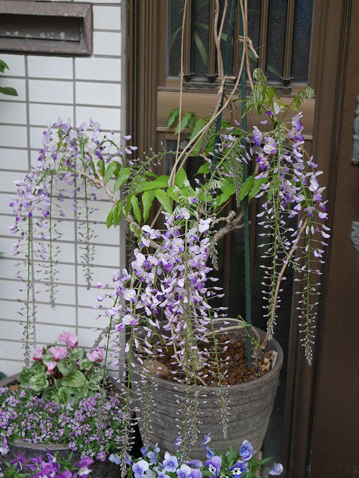 フジ(藤)の花が増えてきた。2021年-007.jpg