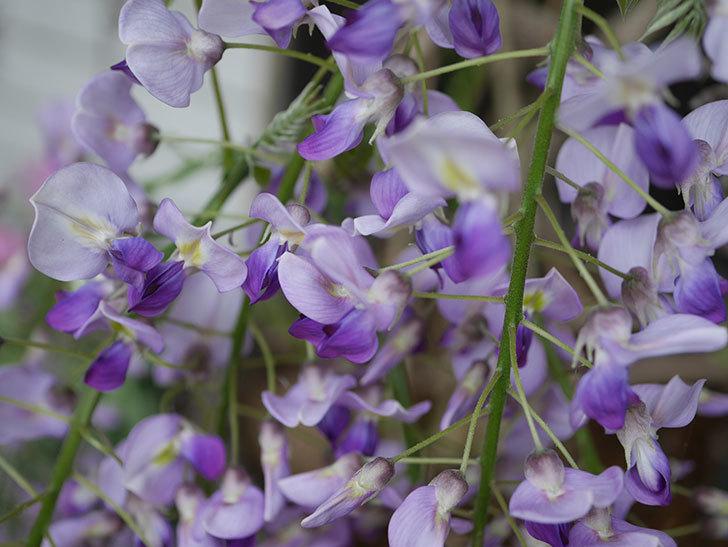 フジ(藤)の花が増えてきた。2021年-009.jpg