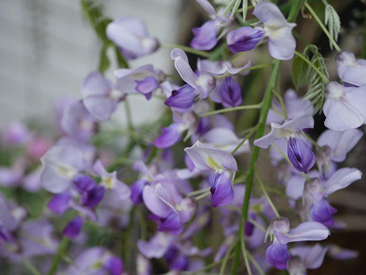 フジ(藤)の花が増えてきた。2021年-010.jpg