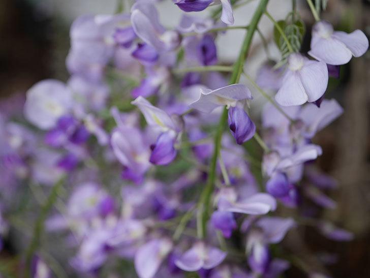 フジ(藤)の花が増えてきた。2021年-011.jpg
