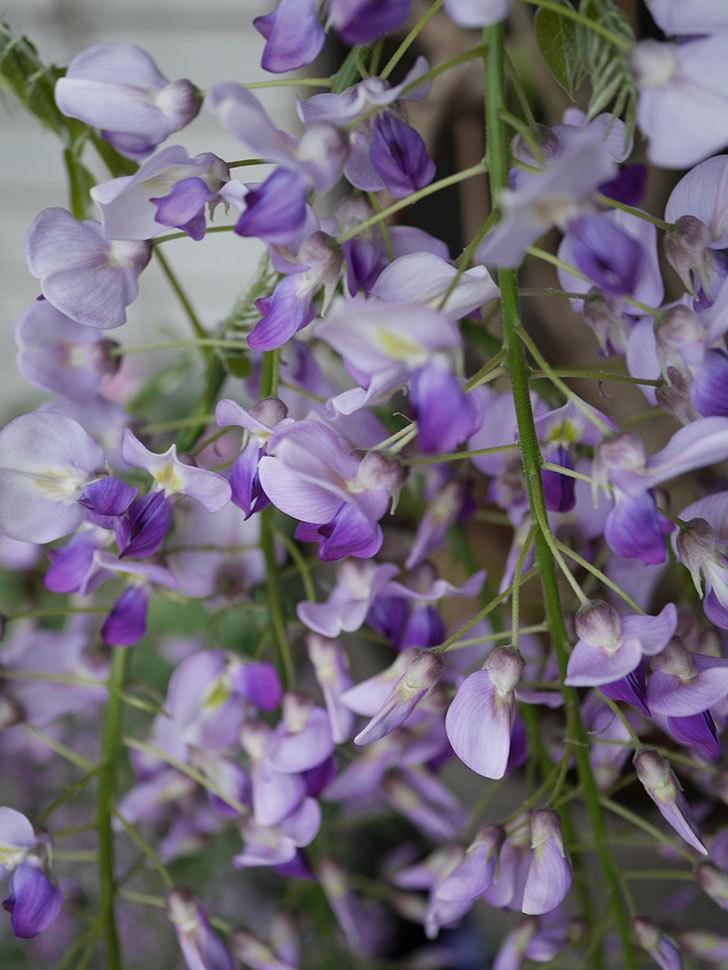 フジ(藤)の花が増えてきた。2021年-013.jpg