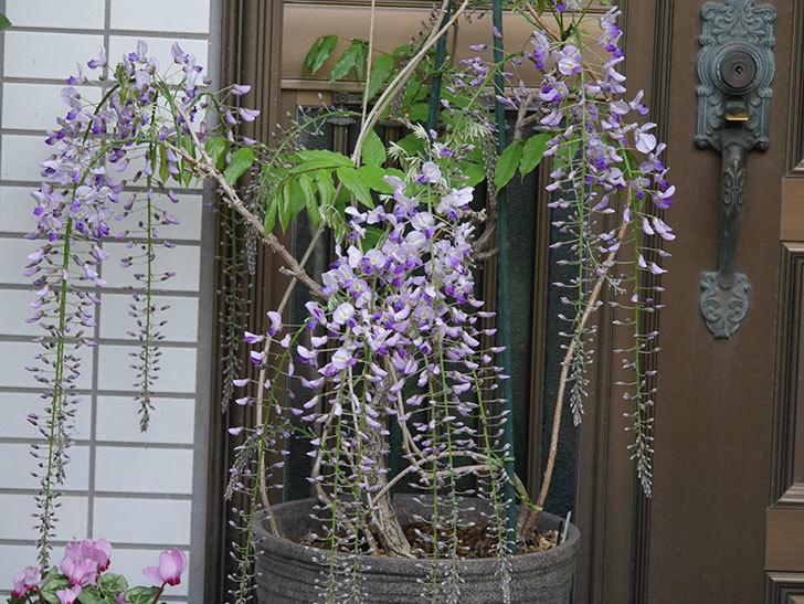 フジ(藤)の花が増えてきた。2021年-014.jpg